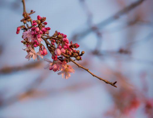 Fleurs de cerisiers ?